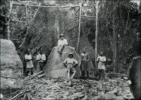 Exploitation forestière au Cameroun. - Acajous, douka, moabi, niové, oboto, bilinga, bubinga, kévazingo, padouk, zingana ou ébène, la forêt camerounaise regorge d'essences de valeur. Pour la France du début du XXème siècle, les bois issus de l'empire colonial sont salutaires car la production métropolitaine ne permet plus de satisfaire la demande intérieure. En effet, avec le développement de l'activité économique et de la consommation, les besoins sont en pleine croissance et le territoire national reste largement dévolu à l'agriculture traditionnelle au détriment des forêts. Cependant la production coloniale ne résout pas tout. D'une part elle est trop faible pour résorber les déficits. D'autre part les essences tropicales, essentiellement destinées à l'ébénisterie et au déroulage –la fabrication de contreplaqués-, ne peuvent pas remplacer les importations de bois d'œuvre venues notamment de Scandinavie. Ainsi, grâce à ses colonies, la France exporte du bois dans le monde entier, sans toutefois parvenir à se passer  de ses fournisseurs étrangers.