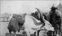 Bœuf porteur au Niger. - « Avant les années 30, le bœuf-porteur était utilisé pour le transport de l'eau ; mais son usage est rendu de plus en plus difficile par la montée des prix des bovins tout au cours des années 20 : les bœufs-porteurs sont très recherchés sur les marchés, sont très bien payés […] L'âne, dont le prix est très bas, peut facilement accomplir les mêmes tâches de transport, n'exige pas de soins particuliers, et est moins délicat et moins exigeant par rapport à la qualité des pâturages. Malgré la baisse du prix des bovins à la fin des années 30, l'usage de l'âne est désormais chose acquise ». Source : Bonfiglioli, Angelo Maliki, Dudal - Histoire de famille et histoire de troupeau chez un groupe de Wodaabe du Niger, Paris, Éditions de la Maison des sciences de l'homme, 1988.