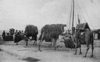 Saint-Louis, chameaux sur le quai d'embarquement