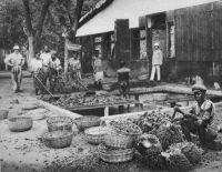 Dalimé, traitement des palmistes à la station agricole d'Agou (Kpalimé).